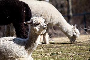 Canon-80D-Experience-Alpacas